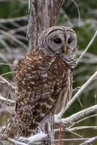 Barred Owl on duty